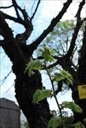 IMG_1800bohdi tree OYA_R_R_R.JPG