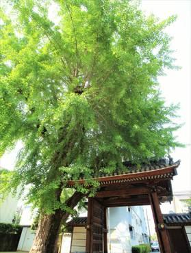 安楽寺のイチョウIMG_6272 (Mr.Toyooka's Ginko tree)2R.Sigojara_R.jpg
