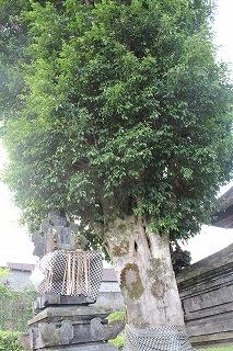 http://rieko-sugihara.com/photo_essay/item/20130219s-IMG_1661banyan%20nuno.jpg