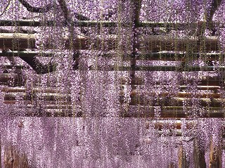 http://rieko-sugihara.com/tree_flower/item/s1%2012FujidanaRIMG0140%20%282%29.jpg