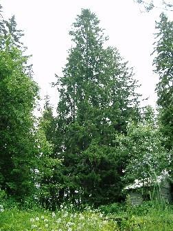 http://rieko-sugihara.com/tree_legend/item/dh000046_081111.jpg