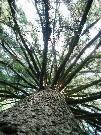 http://rieko-sugihara.com/tree_legend/item/dh000050_081111_2.jpg