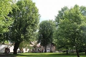 s-IMG_7121linden tree.jpg